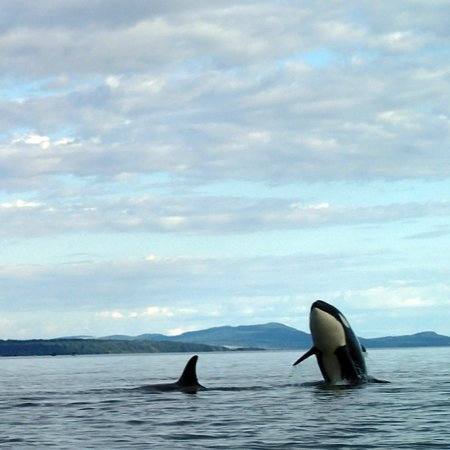 Lund, Kanada: Orca Sighting