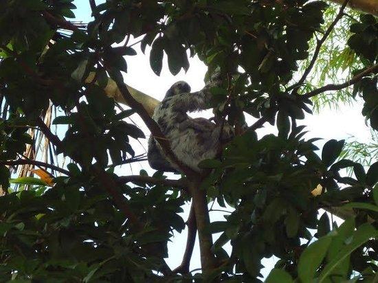 Amazon Arowana Lodge: Bicho preguissa