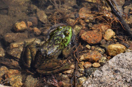 Evergreen Lodge at Yosemite: the frog they found at the lake