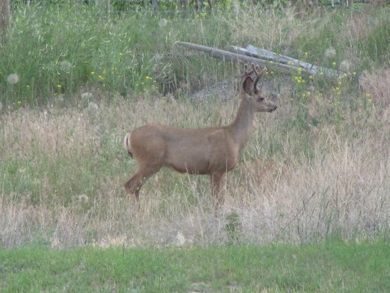 Sutherland Blueberry Bed & Breakfast: young male deer at bottom of property