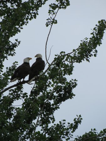 Semiahmoo Resort: Eagles in trees