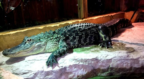 Clark's Fish Camp: Live, live-in gator.  Hand-raised by the owner's daughter!!