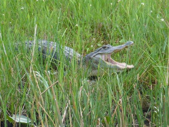 Gator Park: Cocodrilos