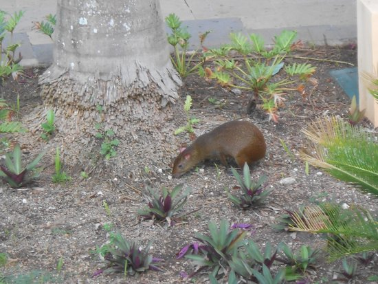 Royal Hideaway Playacar: Agouti-they come out early morning & evening