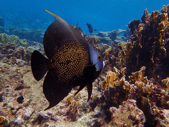 Savaneta, Aruba: Angelfish