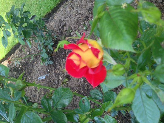 Fuller Gardens : This rose is named 'Ketchup and Mustard'