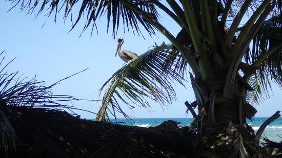Pumpkin Caye: An eavesdropping pelican