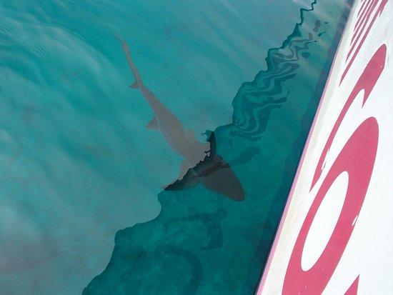Paradise Island Harbour Resort All Inclusive : Stuart Cove's Shark Adventure