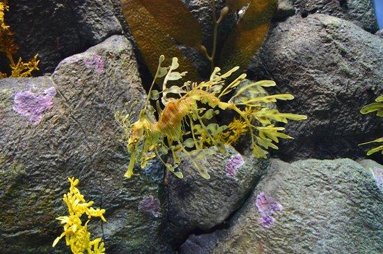 Monterey Bay Aquarium: Seahorse that looks like a seaweed, Monterey Bay Acquarium