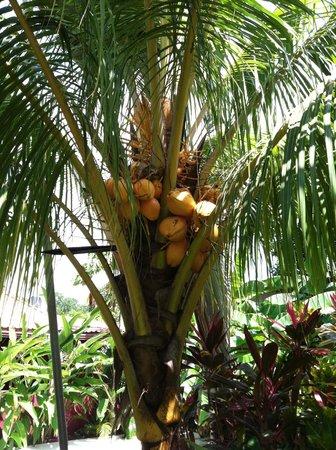 Playa Santa Teresa : coconut tree