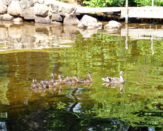 Highland Lake Resort: Family of ducks