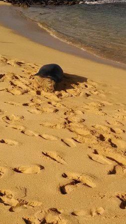 Marriott's Waiohai Beach Club: Monk Seal V06 on Poipu Beach