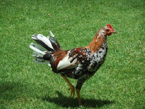 Marriott's Waiohai Beach Club: Local Chicken