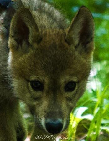 Adirondack Wildlife Refuge : Kiska