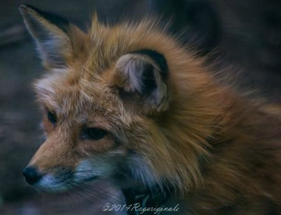 Adirondack Wildlife Refuge: Red Fox
