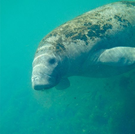 Snorkel With The Manatees: cute face!!