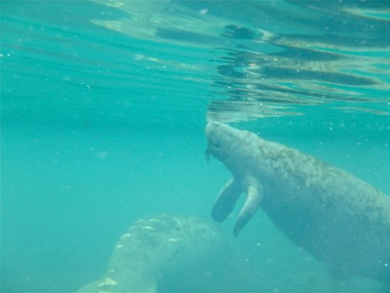 Snorkel With The Manatees: at the surface