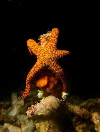 Misool: Indian Sea Star