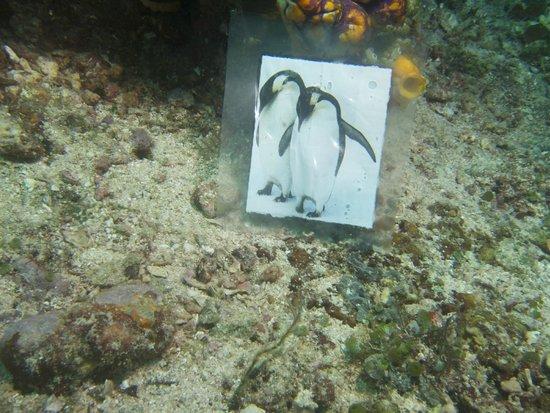 Misool: Emperor penguins!