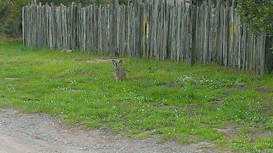 Windsong Cottage : Rabbit hopping near the cottage ....