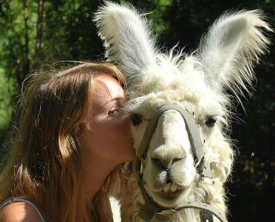La Maison des Chameaux: Promener les lamas!