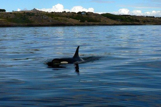 San Juan Excursions: Another orca sighting.