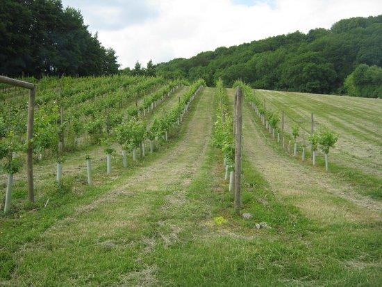 Godstone Vineyards: Young vines in June