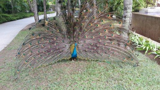 Avillion Port Dickson: peacock on the ground
