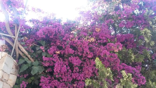 Dionysos Seaside Resort : meravigliosi fiori che colorano l'ambiente