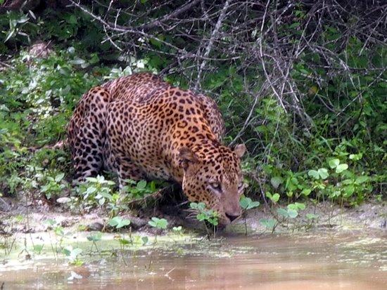 Yala National Park: leopardo
