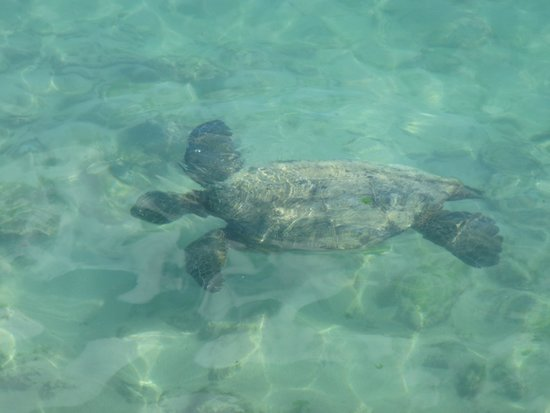 Sheraton Waikiki: Sea turtle