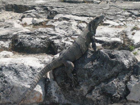 Zona arqueológica El Rey: 遺跡内に生息するイグアナ