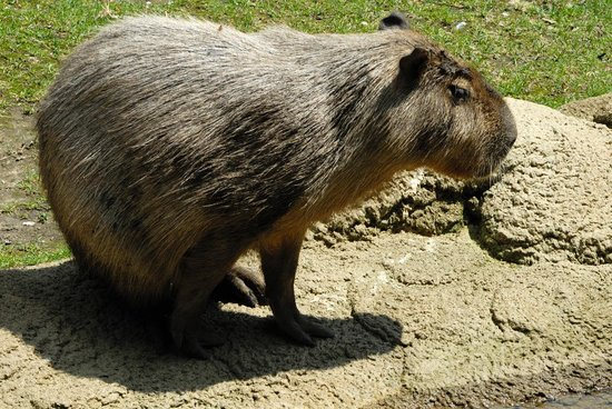 cologne zoo capybara picture of koelner zoo cologne. Black Bedroom Furniture Sets. Home Design Ideas