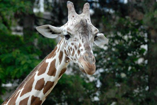 Koelner Zoo : Cologne Zoo - giraffe