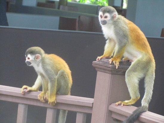 Arenas del Mar Beachfront & Rainforest Resort: monkeys at breakfast