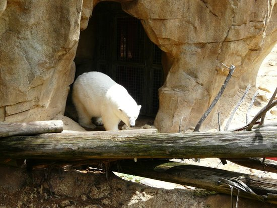 Memphis Zoo: Ice bear