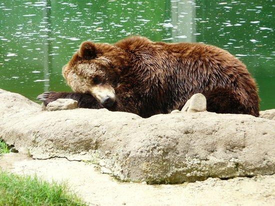 Memphis Zoo: Sleepy bear