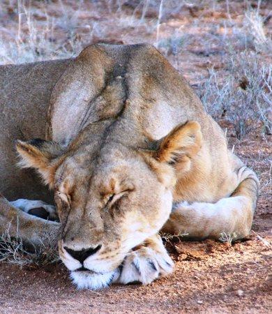 Samburu Intrepids Luxury Tented Camp: It's a lion's life