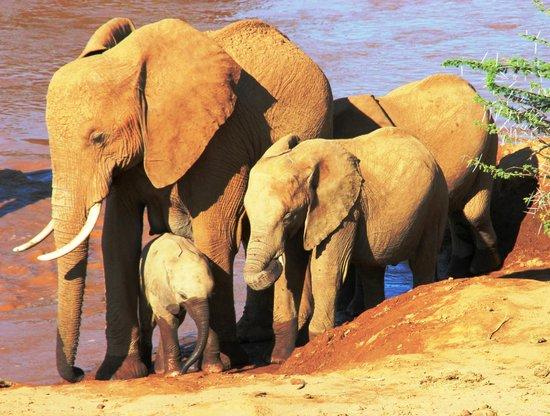 Samburu Intrepids Luxury Tented Camp: Elephants in the River