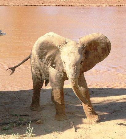 Samburu Intrepids Luxury Tented Camp: baby elephant