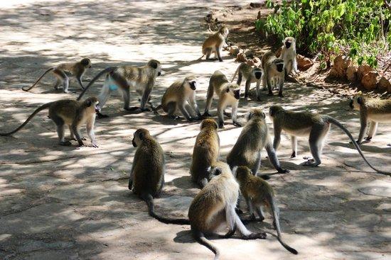 Samburu Intrepids Luxury Tented Camp: Monkey Mexican Stand Off