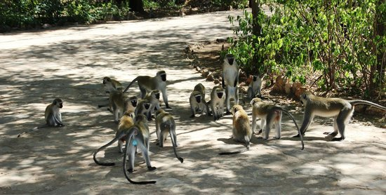 Samburu Intrepids Luxury Tented Camp: Velvet monkeys dispute