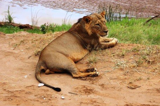 Samburu Intrepids Luxury Tented Camp: The King of the Jungle (well Samburu)