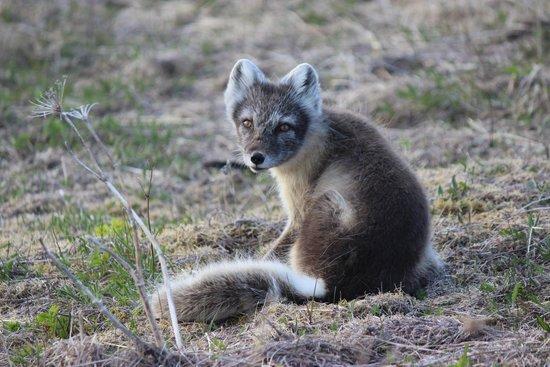 Battle Harbour National Historic District: Arctic Fox