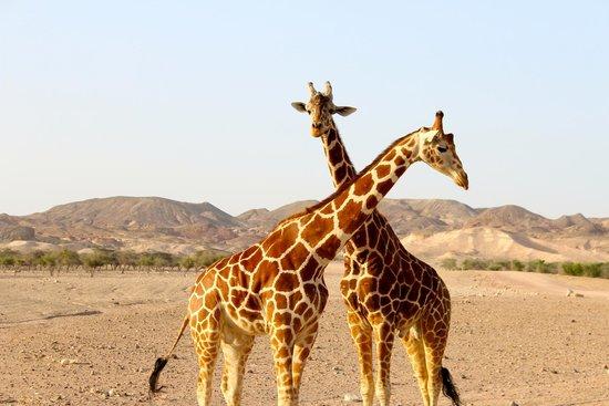 Anantara Sir Bani Yas Island Al Sahel Villa Resort: Safari