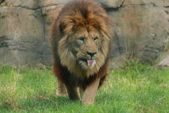 Blackpool Zoo: Lion