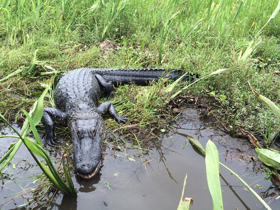 Jean Lafitte Swamp Tours : The biggest gator to approach our boat