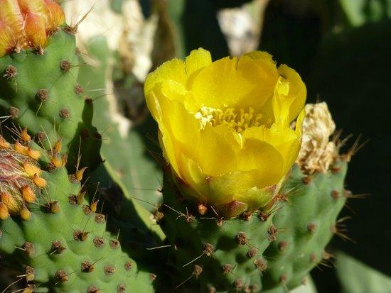 Play Granada : Cactusflowers in june