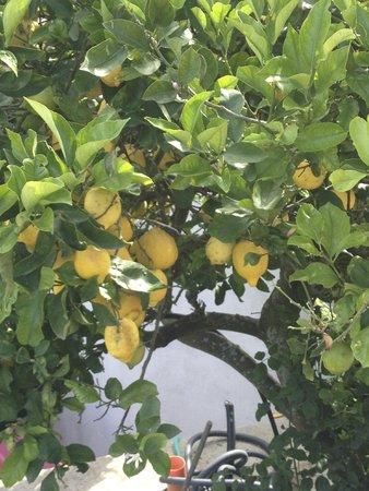 Agriturismo Antico Casale Colli di San Pietro: Üppige Zitronenbäume