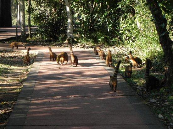 Sheraton Iguazu Resort & Spa: Por el camino del hotel a la cataratas... COATIES